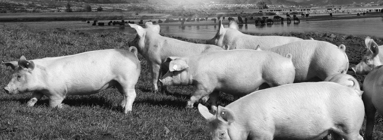 pork plus
